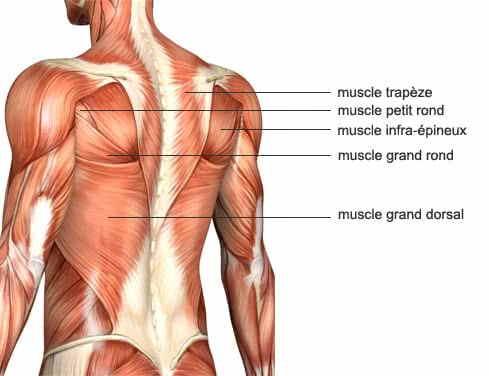 anatomie du dos